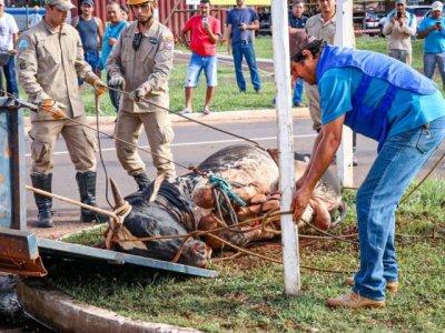 Enquanto estava solto, animal atacou duas pessoas; dono ainda não foi localizado